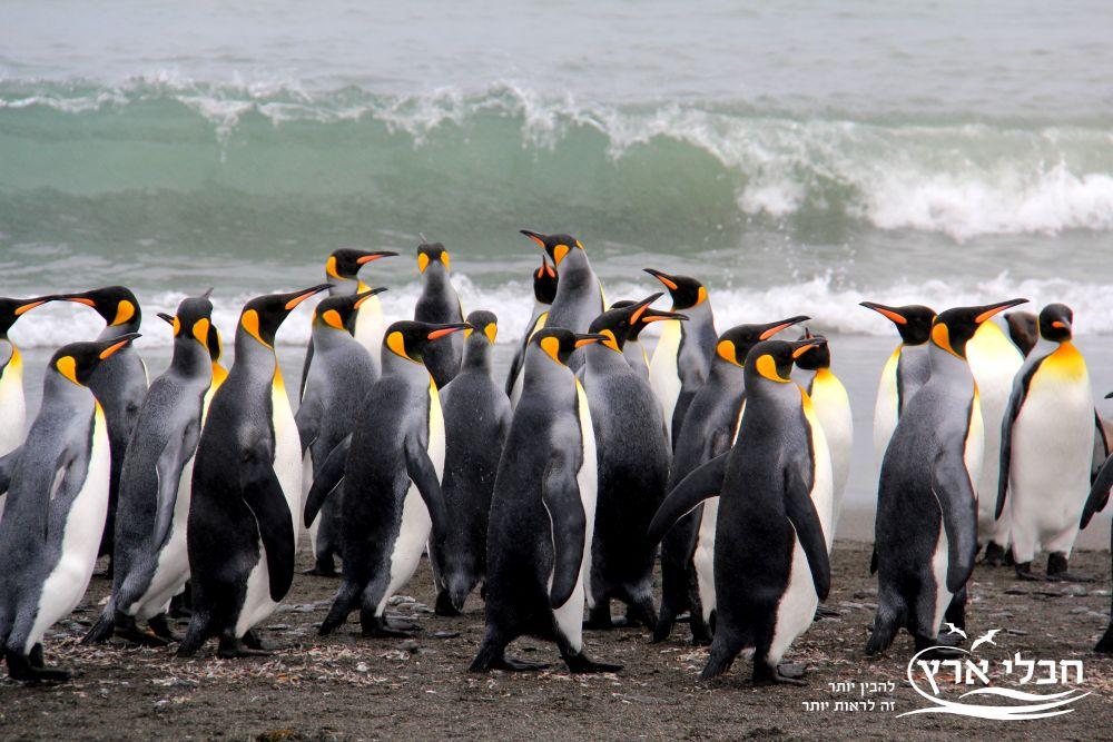 כל מיני הפינגווינים נפוצים רק בחצי כדור הארץ הדרומי – אנטרקטיקה, ניו זילנד, איי גלאפגוס. | חבלי ארץ