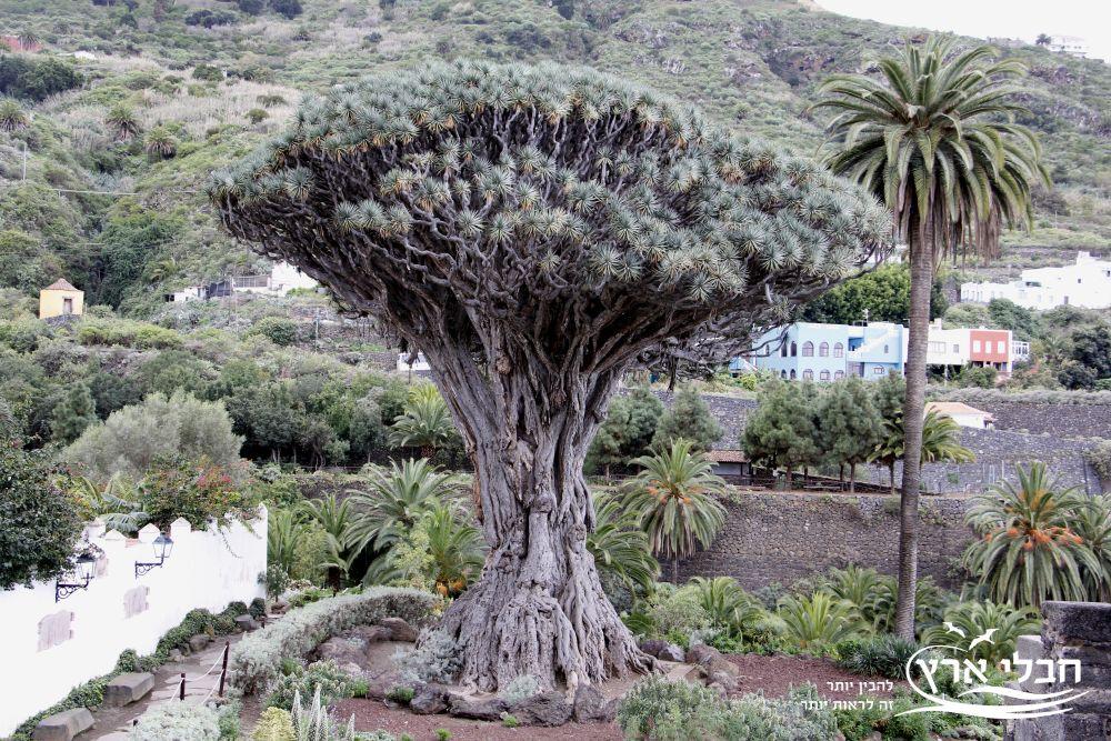 עץ דרקון - האיים האזוריים | חבלי ארץ